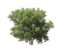Pterocarpus indicus known by several common names, including Amb Stock Image