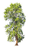 Pterocarpus indicus known by several common names, including Amboine, Pashu Padauk, Malay Paduak, New Guinea Rosewood, tropical t. Ree in the northeast of royalty free stock photo
