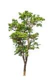 Pterocarpus indicus tree Stock Image