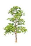Pterocarpus indicus tree in Thailand Royalty Free Stock Photos