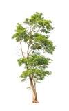 Pterocarpus indicus tree in Thailand Stock Photography