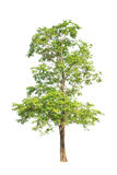 Pterocarpus indicus tree in Thailand Stock Images