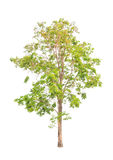 Pterocarpus indicus, tropical tree isolated Royalty Free Stock Photo