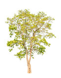 Pterocarpus indicus, tropical tree isolated Royalty Free Stock Photo