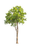 Pterocarpus indicus, tropical tree in Thailand Stock Photography