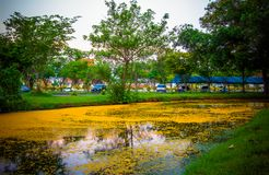 Nakhon Pathom Province,Thailand on March 30,2018:Fallen yellow petals of Padauk flowers covering the pond at Phutthamonthon public. Pterocarpus macrocarpus,or Royalty Free Stock Photos