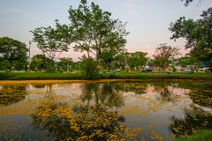 Nakhon Pathom Province,Thailand on March 30,2018:Fallen yellow petals of Padauk flowers covering the pond at Phutthamonthon public. Pterocarpus macrocarpus,or Stock Photos