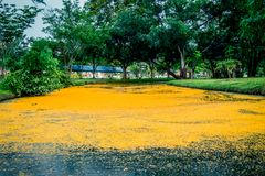 Nakhon Pathom Province,Thailand on March 30,2018:Fallen yellow petals of Padauk flowers covering the pond at Phutthamonthon public. Pterocarpus macrocarpus,or Stock Images