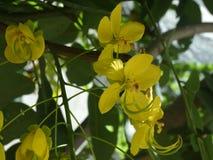 Pterocarpus macrocarpus - burmese padauk. National flower of Mianmar stock images