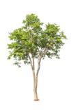 Pterocarpusindicus, tropische boom in Thailand Stock Afbeelding