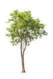 Pterocarpusindicus, tropische boom in Thailand Stock Afbeeldingen