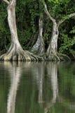 Pterocarpusofficinalisträd med stöttat rotar royaltyfri foto