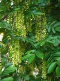 Pterocarya stenoptera C. DC Royalty Free Stock Photo