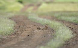 Pterocle gonfiato castagna che si alimenta il pavimento della foresta Fotografia Stock