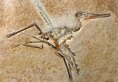 Pterodactylus Elegans Fossil Royalty Free Stock Photo