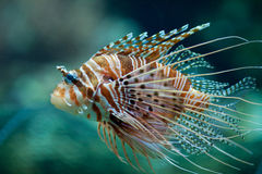 pterois ψαριών antennata lionfish Στοκ Φωτογραφίες