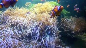 pterois ψαριών antennata lionfish απόθεμα βίντεο