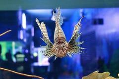 Pterois или крылатка-зебра Стоковые Фотографии RF