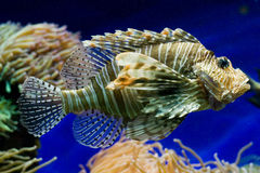 Pterois Royalty Free Stock Images