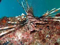 Pterois Royalty Free Stock Image