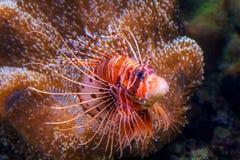 Pterois, als lionfish wordt bekend die stock foto's