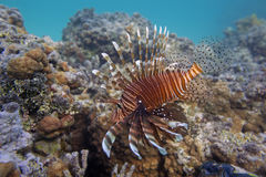 Pterois antennata fish over coral reef Stock Photo