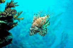 Pterois brand-Vissen duivel-Vissen onder water stock afbeelding