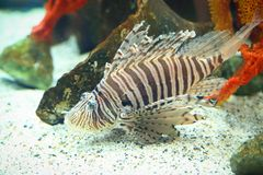 Pterois. Is a genus of venomous marine fish, commonly known as lionfish, native to the Indo-Pacific. , also called zebrafish, firefish, turkeyfish or butterfly Royalty Free Stock Photo