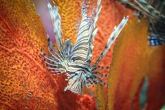 Pterois. Is a genus of venomous marine fish, commonly known as lionfish, native to the Indo-Pacific. , also called zebrafish, firefish, turkeyfish or butterfly Royalty Free Stock Photography