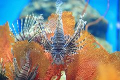 Pterois Stock Image