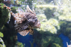 Pterois. Is a genus of venomous marine fish, commonly known as lionfish, native to the Indo-Pacific. , also called zebrafish, firefish, turkeyfish or butterfly Stock Photos