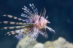 Pterois of Lionfish royalty-vrije stock foto