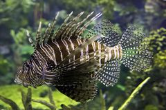 Pterois or Lionfish on display. royalty free stock photos