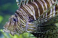 Pterois or Lionfish on display. stock photo