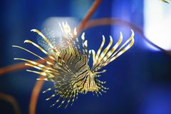 Pterois or lionfish Royalty Free Stock Photos