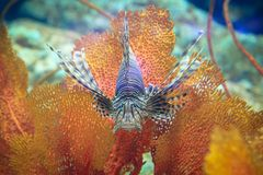 Pterois or lionfish Stock Image