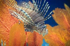 Pterois or lionfish Stock Photo