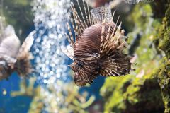Pterois or lionfish. Pterois is a genus of venomous marine fish, commonly known as lionfish, native to the Indo-Pacific. Pterois, also called zebrafish, firefish Royalty Free Stock Image