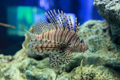 Pterois or lionfish. Pterois is a genus of venomous marine fish, commonly known as lionfish, native to the Indo-Pacific. Pterois, also called zebrafish, firefish Royalty Free Stock Photos