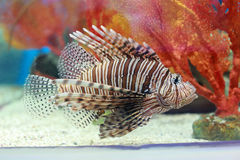 Pterois or lionfish. Pterois is a genus of venomous marine fish, commonly known as lionfish, native to the Indo-Pacific. Pterois, also called zebrafish, firefish Stock Photo