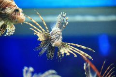Pterois or lionfish Royalty Free Stock Images