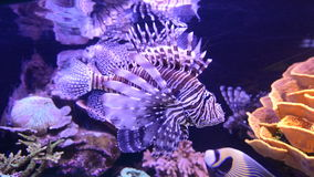 Pterois Lionfish Venomous fish. Swim underwater in the red sea Gulf of Aqaba Eilat Israel stock video