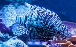 Pterois Royalty Free Stock Photos