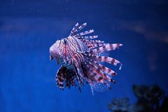 Pterois lionfish, zebrafish so on with long venomous fins. In blue water Stock Photography