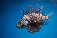 Pterois lionfish, zebrafish so on with long venomous fins. In blue water Royalty Free Stock Photography