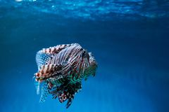 Pterois lionfish, zebrafish so on with long venomous fins. In blue water Royalty Free Stock Photos
