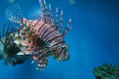 Pterois lionfish, zebrafish so on with long venomous fins. In blue water Royalty Free Stock Photo