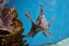 Pterois lionfish, zebrafish so on with long venomous fins. In blue water Stock Photo