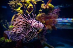 Pterois Miles Fish all'acquario di Gerusalemme immagini stock