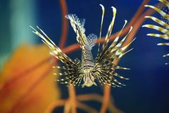 Pterois miles Stock Photo